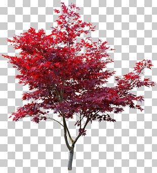 Japanese Maple Red Maple Autumn Leaf Color Maple Leaf Acer Japonicum PNG