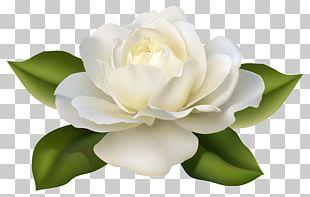 Flower Jasminum Polyanthum Rose PNG