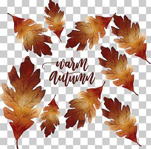 Maple Leaf Autumn Deciduous PNG