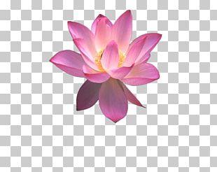 Nelumbo Nucifera Egyptian Lotus PNG