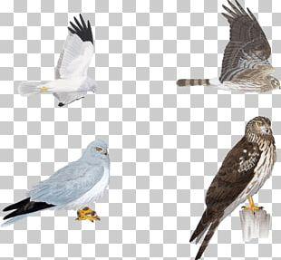 Hawk Circinae Bird Eagle Hen Harrier PNG