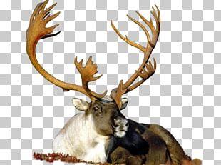 Reindeer Animal Agence De Rencontre 25 November 1.2.3 PNG