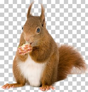 Rodent American Red Squirrel Tree Squirrel European Pine Marten PNG