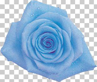 Blue Rose Garden Roses Cabbage Rose Cut Flowers PNG