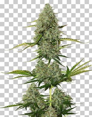 Autoflowering Cannabis Seed White Widow Cannabis Sativa PNG