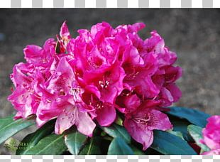 Azalea Rhododendron Pink M Annual Plant Herbaceous Plant PNG